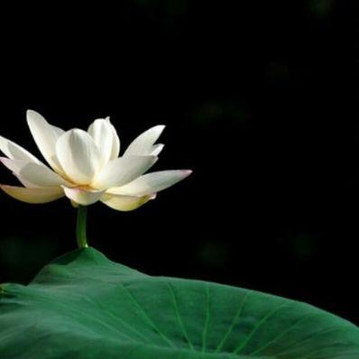 描写莲花的唯美句子 描写荷花品质的优美句子